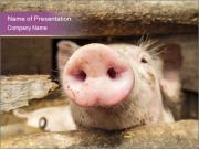 Pig's Nose Modèles des présentations  PowerPoint