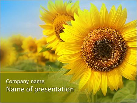 Sunflower Field PowerPoint Template & Backgrounds ID 0000004105 ...