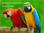 Couple Of Parrots PowerPoint Templates