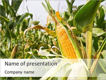 Riche récolte de maïs Modèles des présentations  PowerPoint