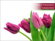 Springtime Tulips PowerPoint Templates