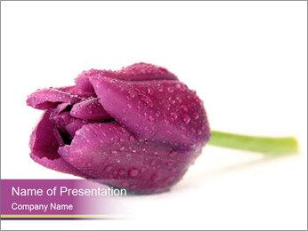 Wet Purple Tulip PowerPoint Templates - Slide 1