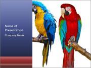 Big Ara Parrots PowerPoint Templates