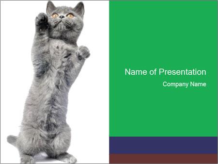 Grey British Kitten PowerPoint Template