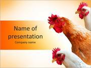 母鸡 PowerPoint演示模板
