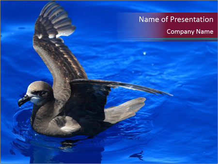 Grey-faced Petrel PowerPoint Templates