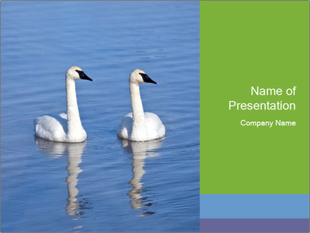 Swans swimming PowerPoint Templates