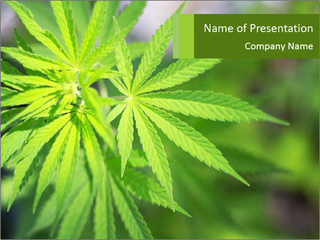 Young cannabis PowerPoint Template