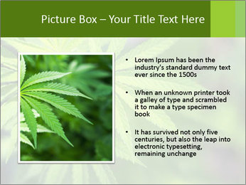Young cannabis PowerPoint Template - Slide 13