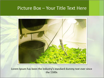 Young cannabis PowerPoint Templates - Slide 16