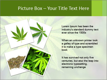 Young cannabis PowerPoint Template - Slide 23