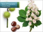 Horse-chestnut PowerPoint Template