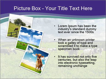 Cows grazing PowerPoint Templates - Slide 17