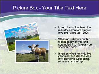 Cows grazing PowerPoint Templates - Slide 20