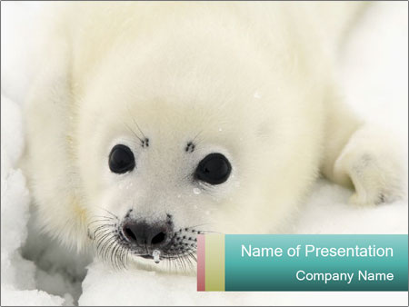 Baby harp seal pup PowerPoint Templates