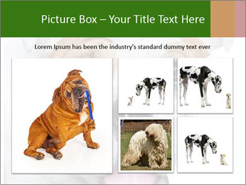 English bulldog PowerPoint Templates - Slide 19