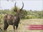 Waterbuck PowerPoint Template