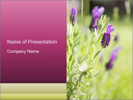 Fresh lavender PowerPoint Template