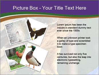The red-tailed hawk PowerPoint Templates - Slide 23