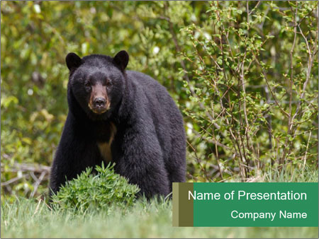 Black bear PowerPoint Templates