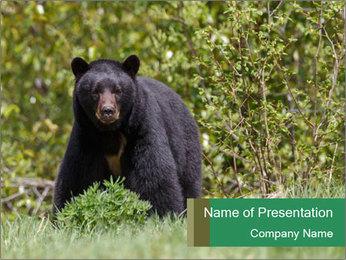 Black bear PowerPoint Templates - Slide 1