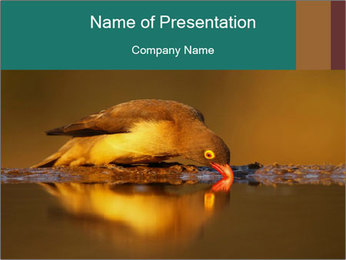 Red-billed PowerPoint Templates - Slide 1