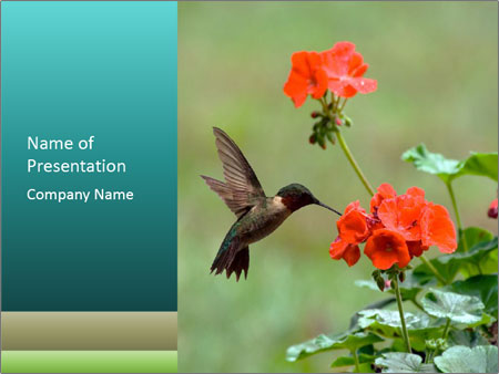 Male ruby-throated PowerPoint Template