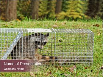 Raccoon PowerPoint Templates - Slide 1