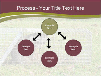 Raccoon PowerPoint Templates - Slide 91