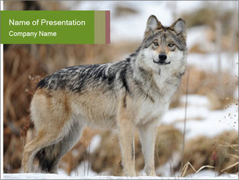 Mexican gray wolf PowerPoint Template - Slide 1