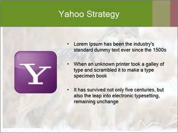 Mexican gray wolf PowerPoint Template - Slide 11