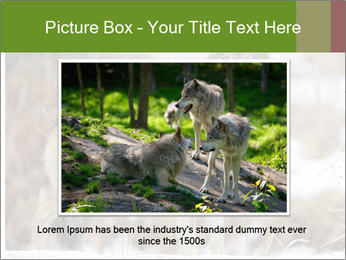 Mexican gray wolf PowerPoint Template - Slide 15