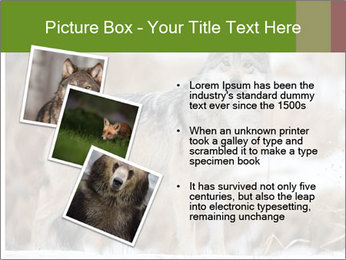 Mexican gray wolf PowerPoint Template - Slide 17