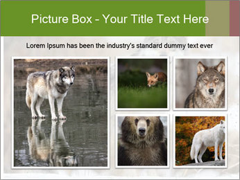 Mexican gray wolf PowerPoint Template - Slide 19