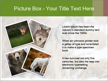 Mexican gray wolf PowerPoint Template - Slide 23