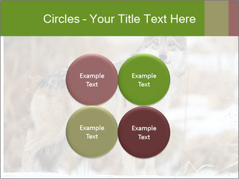 Mexican gray wolf PowerPoint Template - Slide 38