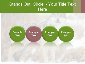 Mexican gray wolf PowerPoint Template - Slide 76