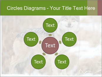Mexican gray wolf PowerPoint Template - Slide 78