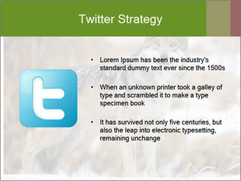 Mexican gray wolf PowerPoint Template - Slide 9