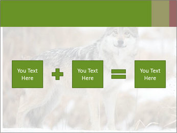 Mexican gray wolf PowerPoint Template - Slide 95