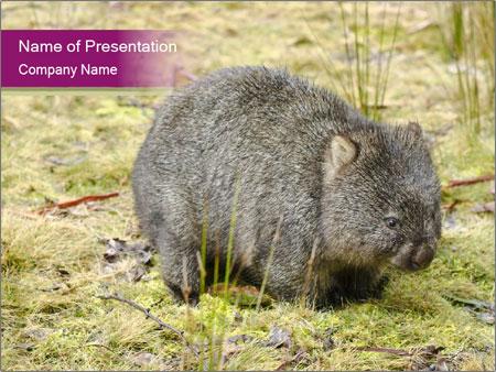 Wombat in Cradle PowerPoint Templates