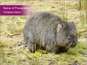 Wombat in Cradle PowerPoint Template