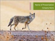 Coyote prowling on the farm PowerPoint Templates