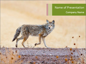 Coyote prowling on the farm PowerPoint Template - Slide 1