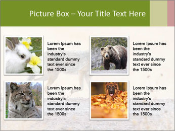 Coyote prowling on the farm PowerPoint Template - Slide 14