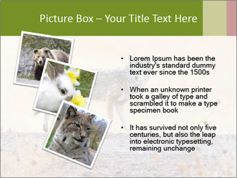 Coyote prowling on the farm PowerPoint Template - Slide 17
