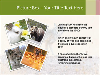 Coyote prowling on the farm PowerPoint Template - Slide 23