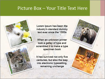 Coyote prowling on the farm PowerPoint Template - Slide 24