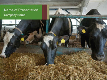 Cows feeding PowerPoint Templates - Slide 1