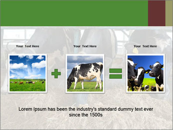 Cows feeding PowerPoint Templates - Slide 22